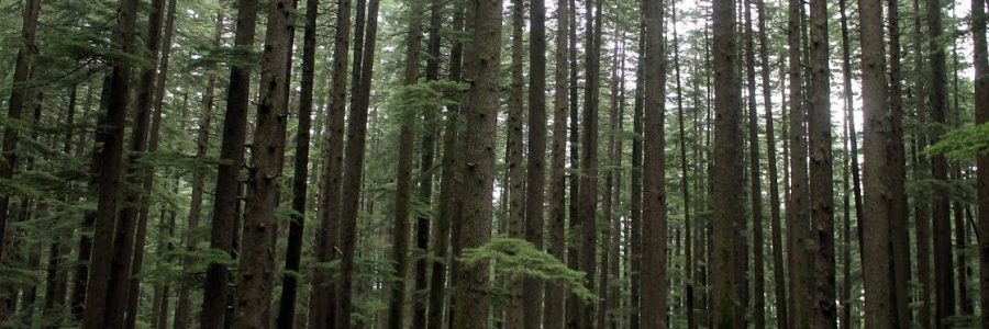 Forested area in Manali
