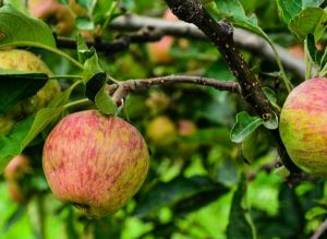 Himachal-Pradesh- Apple orchard